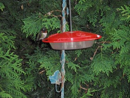 Male Hummingbird (2)